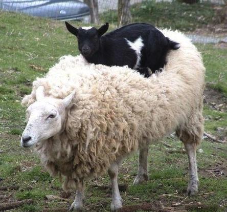 goat on sheep