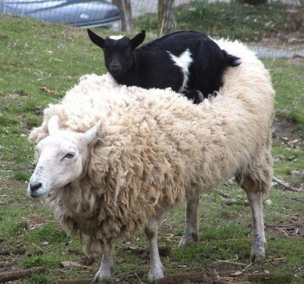 goat on sheep