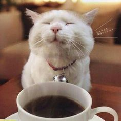cat loves coffee