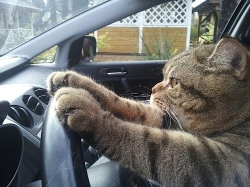 cat driving