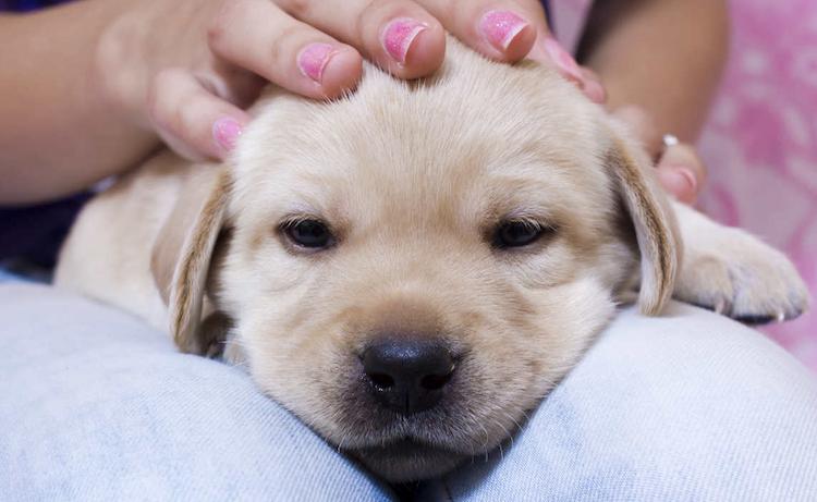 cute lab pup