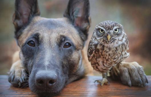 shepherd and owl