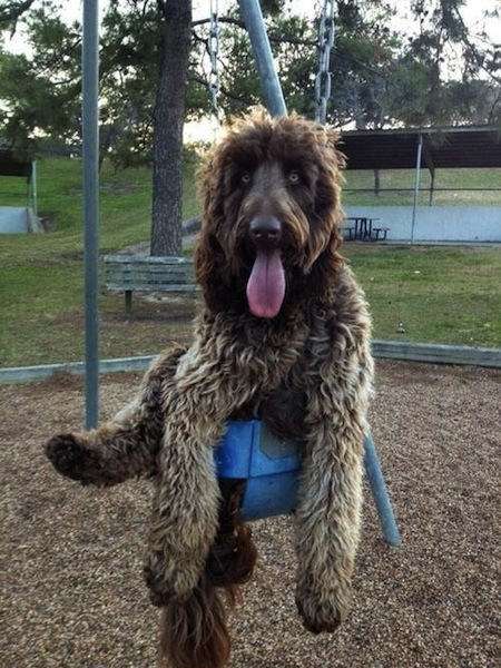 big dog on swing