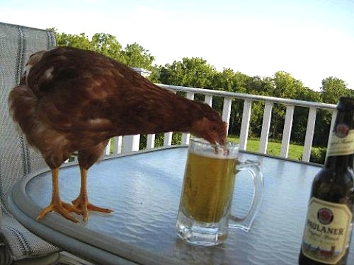 chicken drinking beer