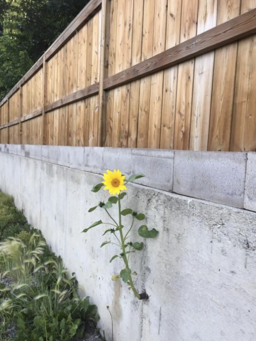 flower growing out of drain pipe