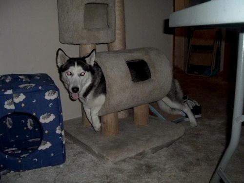 husky fooling around