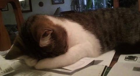 office-cat-2
