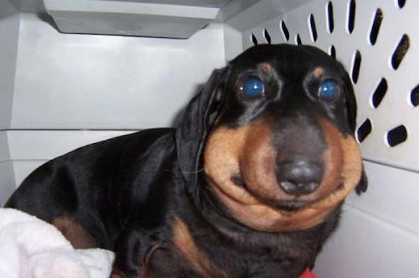 fat-face-dog-big