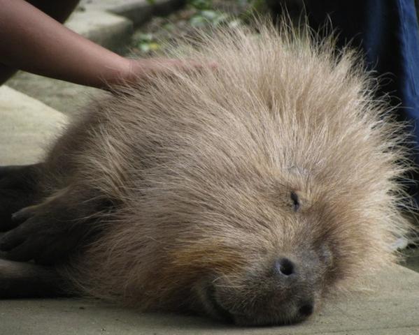 cute capybara