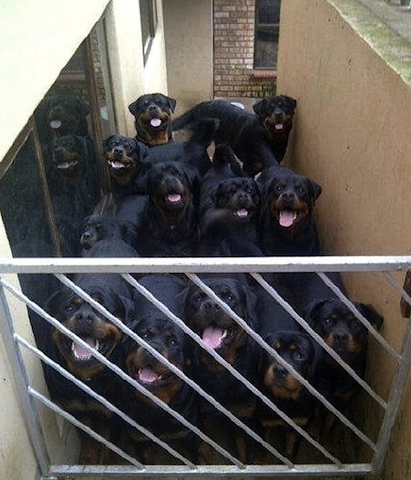 cute rotties
