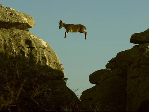 goat jump off cliff