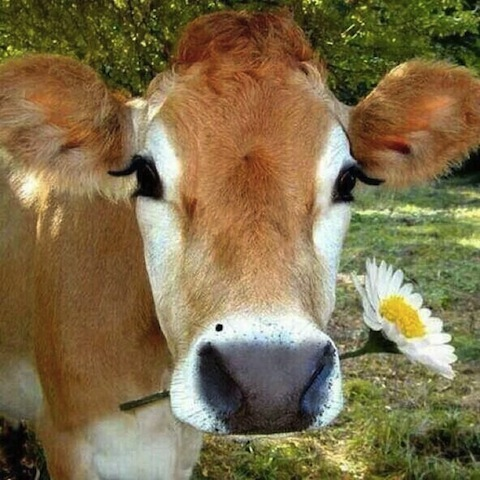 cute cow with flower