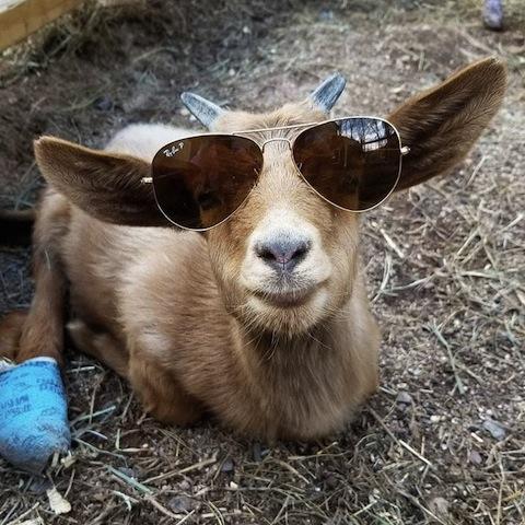 look goat.jpg