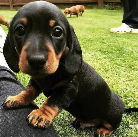 cute dachshund.jpg