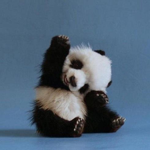 cutest panda