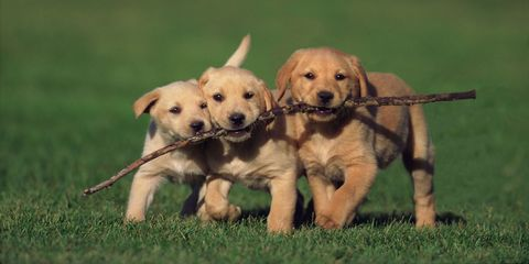 cute puppies with stick