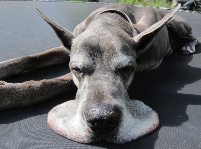 dog melting