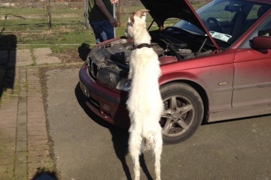mechanic goat