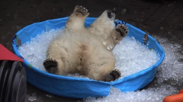 polar on ice