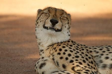 smiling cheetah
