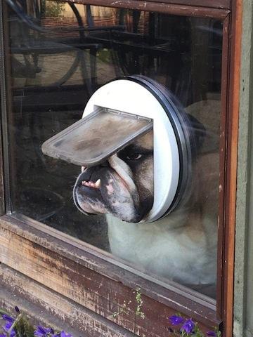 cute bulldog stay indoors