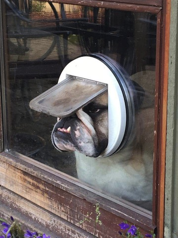 cute bulldog stay indoors