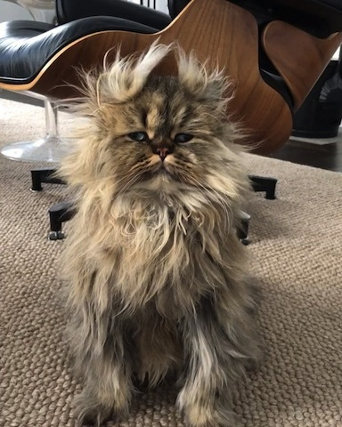 cute cat with messy hair
