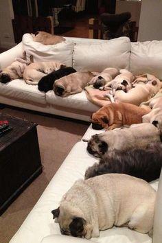 cute pugs sleeping
