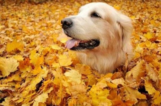 cute retriever in autumn leaves