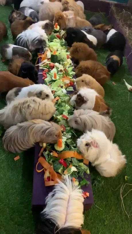 guinea pigs feasting