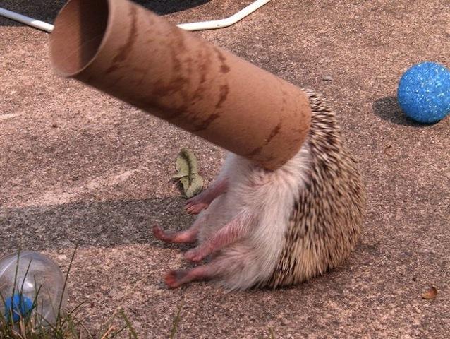 hedgehog stuck on toilet tube