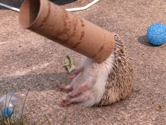 hedgehog stuck on toilet tube