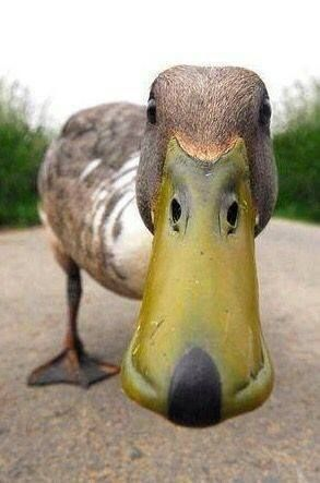 curious duck