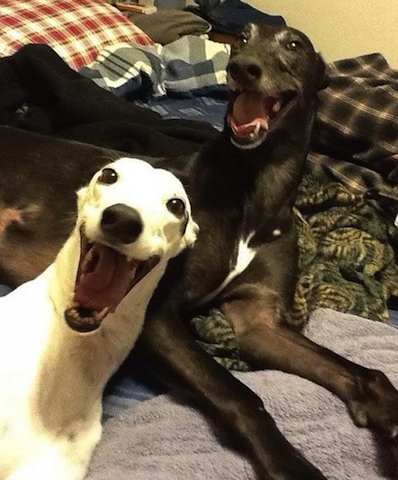 happy greyhounds
