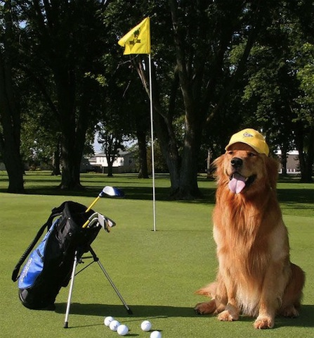 retriver playing golf