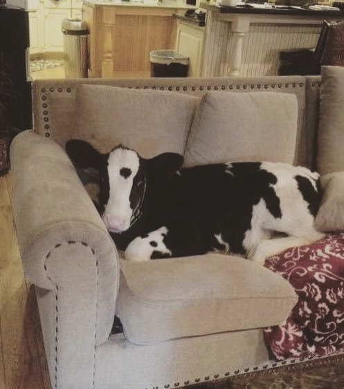 cow on a couch