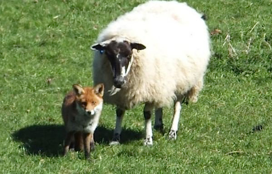 fox and sheep