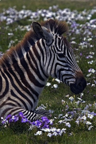 beautiful zebra