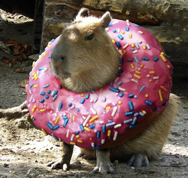 cute capybara and donut