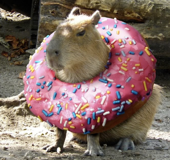 cute capybara and donut