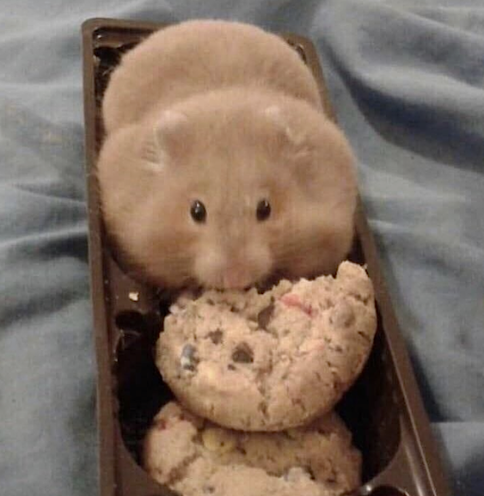 cute mouse eating cookies