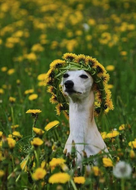 lovely greyhound