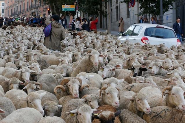 sheep on street-1