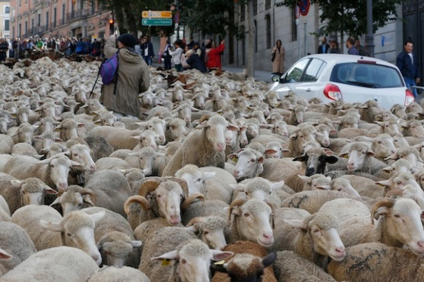 sheep on street-1