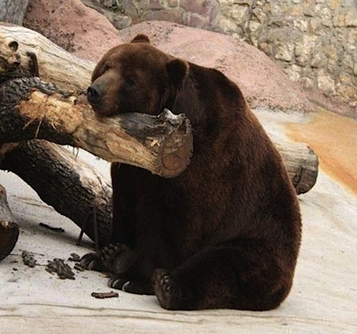 bear too sleepy