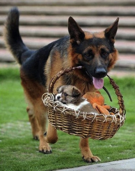 dog carry puppy in basket